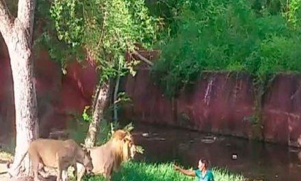 """Borracho entra al área de los leones para """"darles la mano"""""""