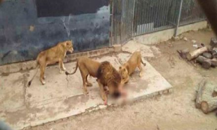 Sacrifican a dos leones para salvar a suicida