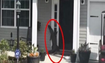 Cocodrilo travieso como niño… ¡Toca el timbre de una casa y sale corriendo!
