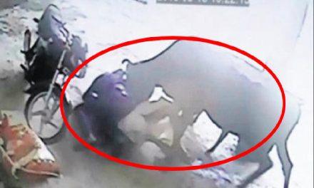 Vaca ataca a un hombre… ¡Porque estaba golpeando a una mujer!