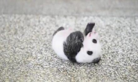 Endúlzate este miércoles con el video de un panda bebé