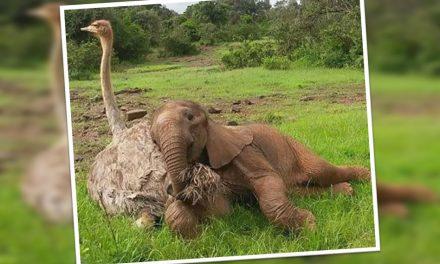 Avestruz y elefantito se consuelan después de haber perdido a sus padres
