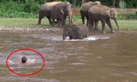 Elefantito se tira al río para salvar a su cuidador que lo arrastraba la corriente