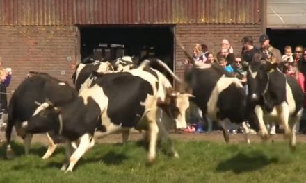 Vacas son liberadas de su cautiverio… ¡Y salen brincando de alegría!