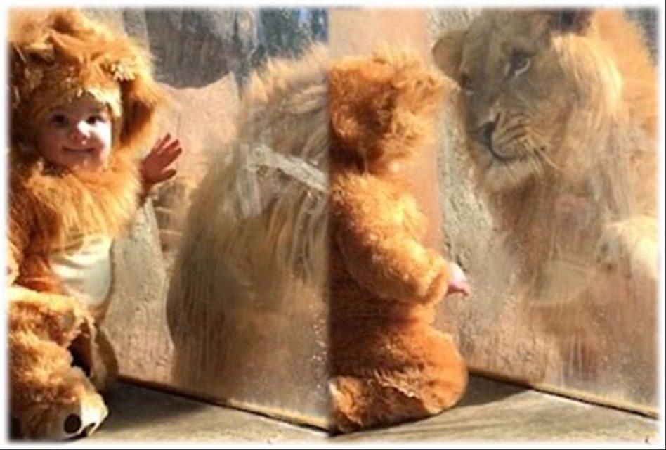 Reacción de un león al ver a un pequeño vestido de leoncito ¡No te pierdas el video!
