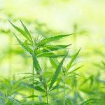 Senado aprobará uso médico de marihuana antes de concluir periodo