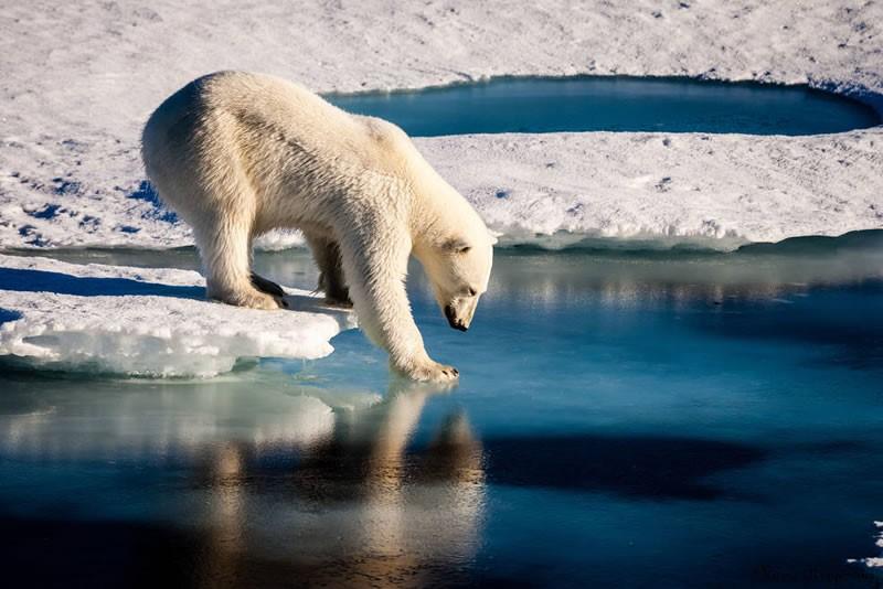 Imagen: Los osos polares están entre los animales más afectados por la disminución del hielo marino ártico debido a que sus actividades esenciales, como cazar, viajar y la cría las realiza sobre esta superficie.
