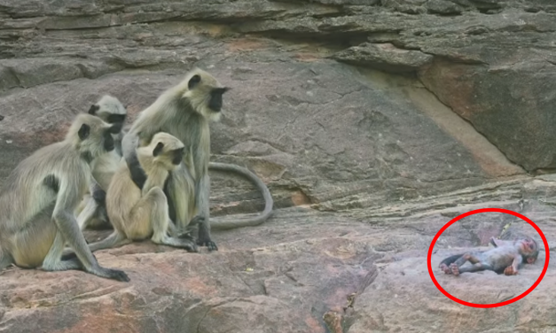 """Monos sufren por """"la muerte"""" de Robot-Mono ¡Pensaron que era uno de ellos!"""