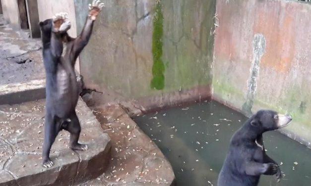 ¡Cuanta crueldad! Osos desnutridos suplican a visitantes del Zoológico por algo de comida