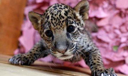 """""""El jaguar (panthera onca) está en mayor peligro de extinción de lo que se pensaba"""": UNAM"""